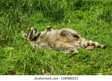 raccoon on the meadow