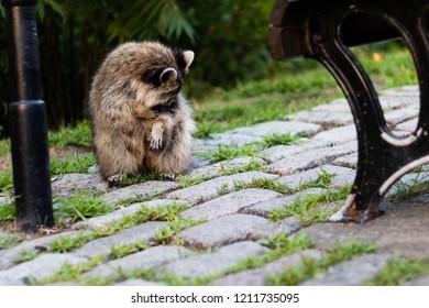 A raccoon on the Mount-Royal mountain, in Montreal, Quebec, Canada. A raccoon in the city. A raccoon in the urban environment. Un raton laveur se nettoie sur le Mont-Royal.