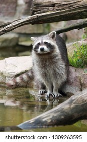 raccoon on the rocky banks of a lake