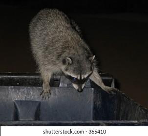 Raccoon in Trash Images, Stock Photos & Vectors   Shutterstock