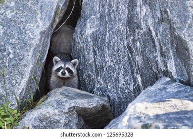 Raccoon peers out of a cave formed by boulders piled to form the pier at Jetty Park in Port Canaveral, Florida. The racoon and its mate live at the pier and are relatively unafraid of humans.