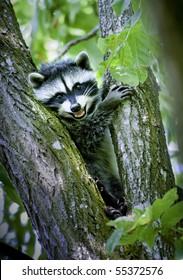 Raccoon perches in backyard tree in Chehalis, Washington