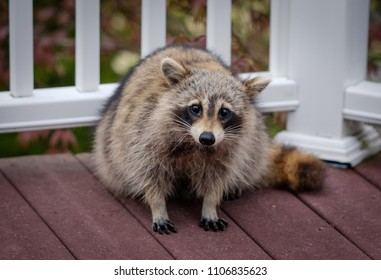 Raccoon playing at the porch