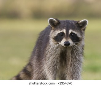 Raccoon portrait with green grass background