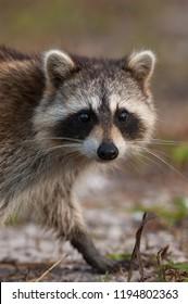 Raccoon portrait looking