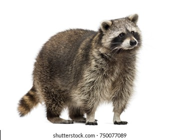 Raccoon, Procyon Iotor, standing, isolated on white
