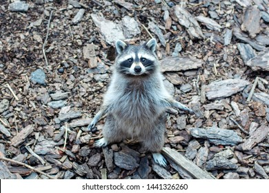 Raccoon Procyon lotor asking for food at the zoo.Funny raccoons.