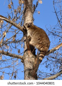 Raccoon (Procyon lotor) climbs tall tree larch
