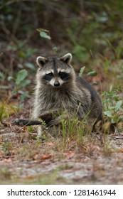 Raccoon, Procyon lotor, Florida, USA