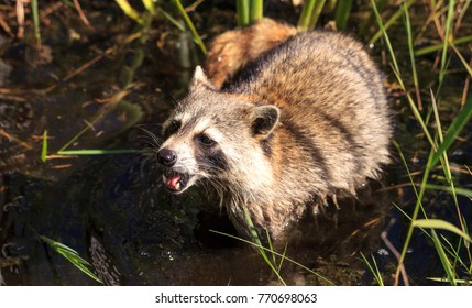 Raccoon Procyon lotor forages for food at the Corkscrew Swamp Sanctuary in Naples, Florida.