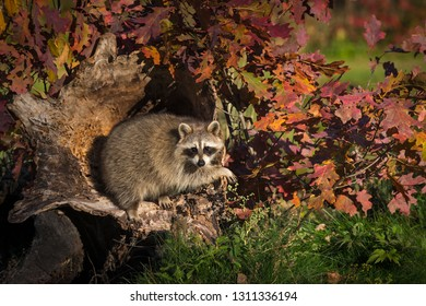 Raccoon (Procyon lotor) Hangs Out in Log Autumn - captive animal