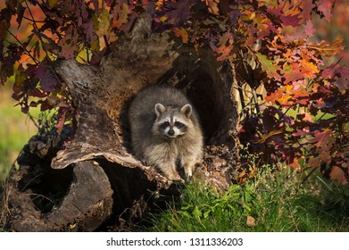 Raccoon (Procyon lotor) Looks Out From Inside Log Autumn - captive animal