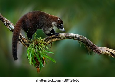 Raccoon, Procyon lotor, on the tree in National Park Manuel Antonio, Costa Rica. Animal in the forest. Mammal in the nature habitat. Animal from tropical Costa Rica.