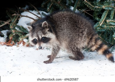 Raccoon (Procyon lotor) searches for food under snow in winter