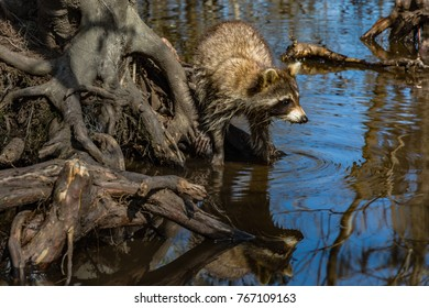 Raccoon (procyon lotor) seating on bare tree roots next to swamp water in Louisiana