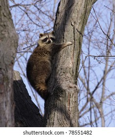 A raccoon (Procyon lotor) tightly hugging a tree.