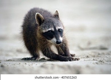 Raccoon, Procyon lotor, walking on white sandy beach in National Park Manuel Antonio, grey animal in the nature habitat, Costa Rica.