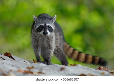 The Raccoon, Procyon lotor, walking on white sandy beach in National Park Manuel Antonio, Costa Rica.
