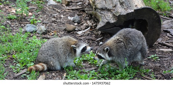 The raccoon or racoon or common, North American, northern raccoon and colloquially as coon is a medium-sized mammal native to North America.