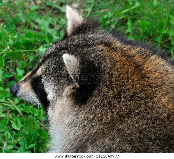 Raccoon Racoon Common North American Northern Stock Photo
