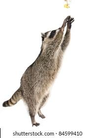 Northern Raccoon Images, Stock Photos & Vectors   Shutterstock