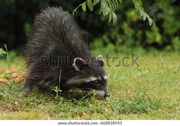 raccoon is searching for something in the grass
