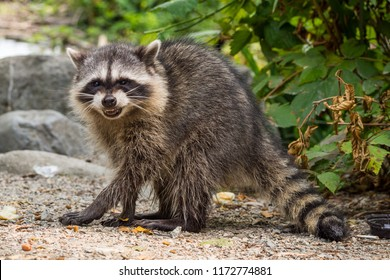 raccoon showing an angry pose to you in the park