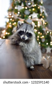 Raccoon sits in front of the Christmas tree and garlands