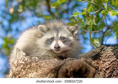 raccoon sits on a tree