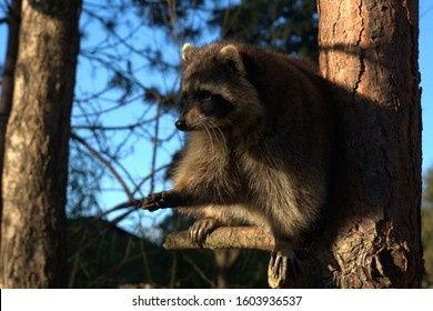 Raccoon sits on the tree in the forest