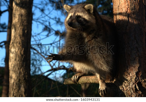 Raccoon sits on the tree in the forest and stretches its paw