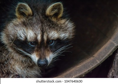 A raccoon sitting in a barrel. (Procyon lotor). Also known as racoon, common raccoon, north american raccoon, northern raccoon or coon.
