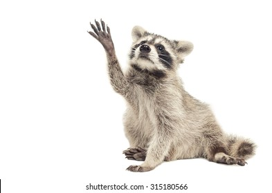 Raccoon sitting with paw raised up, isolated on white background