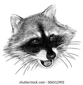 raccoon snout