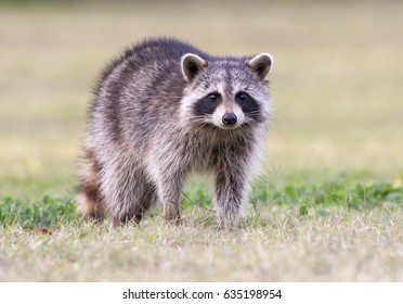 Raccoon standing on green grass in middle of field in county park