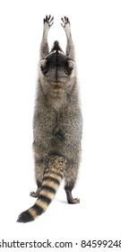 Raccoon standing on its hind legs and reaching up