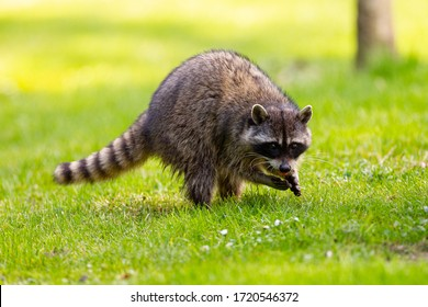 Raccoon at Stanley Park, Vancouver, British Columbia