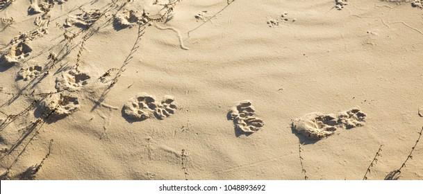raccoon tracks in the sand dunes on Cumberland Island, georgia.