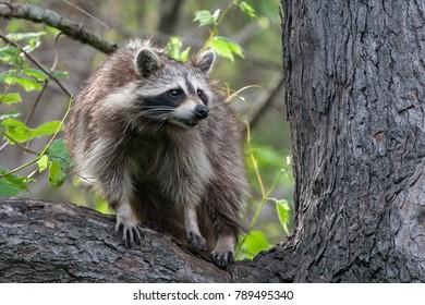 Raccoon in a Tree - Ojibway Nature Preserve - Windsor, Ontario - 2017-05-17