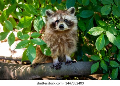 Raccoon view in camera sitting on branch