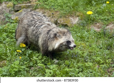 a Raccoon walking in grassy ambiance
