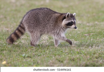 Raccoon walking on green grass in middle of field in county park