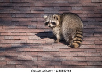 A raccoon walks around on someone's house in Toronto, Canada, a city notorious for its urban raccoon population.