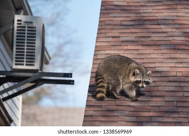 A raccoon walks around on someone's house in the Upper Beaches neighbourhood of Toronto, Canada, a city notorious for its urban raccoon population.