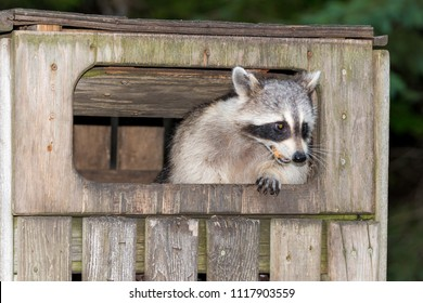 A raccoon in a wooden garbage bin.The bin has a flap in the front which is held open by the raccoon. He has food in his mouth.