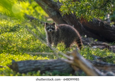 Raccoon/Raccoon in the forest