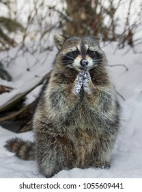 Raccoons playing in the snow