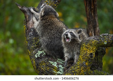 Raccoons (Procyon lotor) Cries Out From Tree in Rain Autumn - captive animals