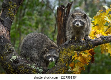 Raccoons (Procyon lotor) Look Out From Autumn Tree - captive animals