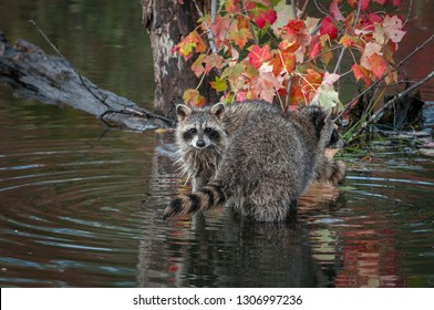 Raccoons (Procyon lotor) Looks Out Over Others Tail Autumn - captive animals